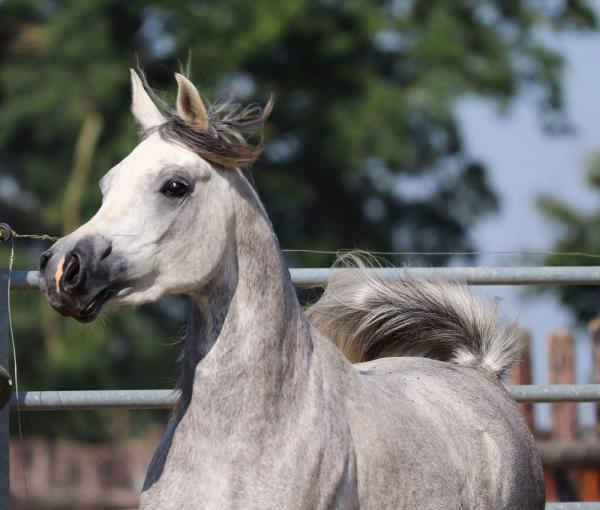 STRAIGHT EGYPTIANS PUREBRED ARABIAN MARE