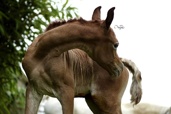 Siard Arabians - straight egyptian arabians
