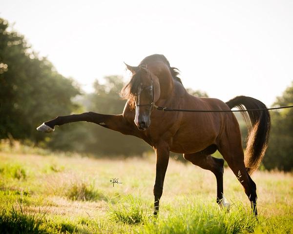 cheval arabe etalon