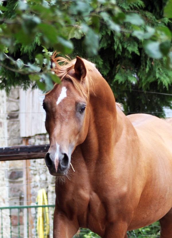 cheval arabe vente